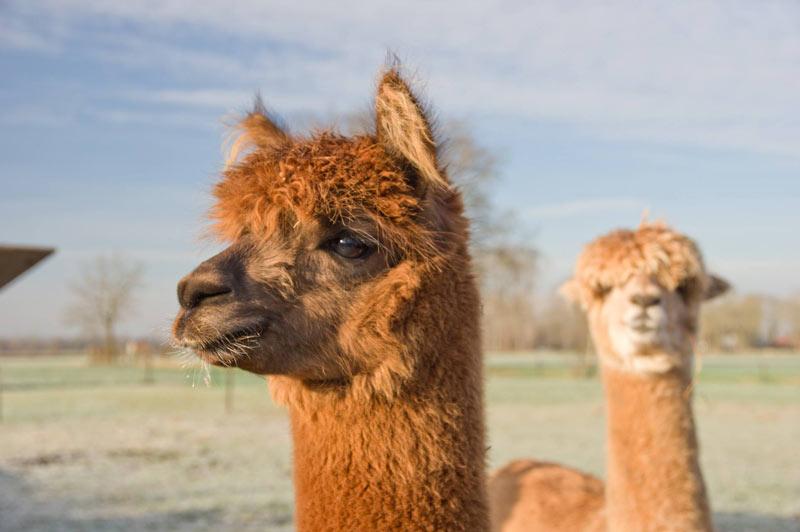 https://www.minicampingcard.eu/wp-content/uploads/2016/07/HertenboerderijDeWeerd-alpaca-VOOR-OP-DE-SITE-GIDS-2-270x200.jpg